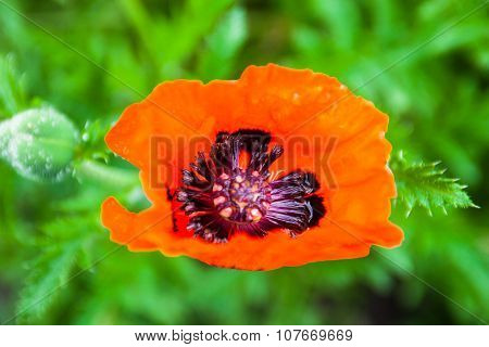 Closeup Of The Blooming Red Poppy Flower And Poppy Bud