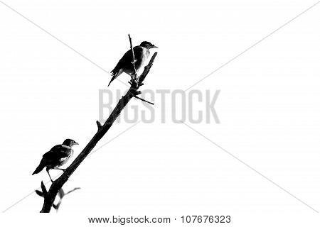 Treurmaina On An Branch