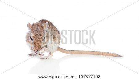 Portrait of a funny gergil eating isolated on a white background