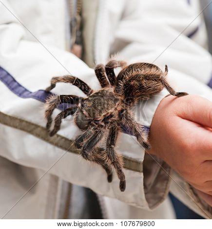 Big Hairy Tarantula