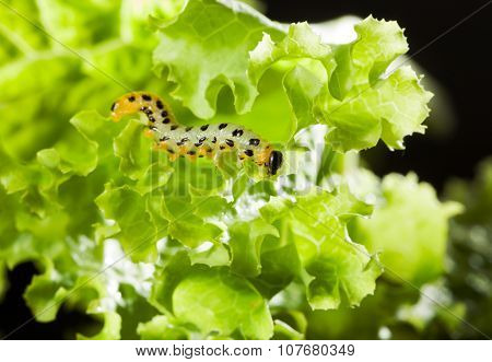 Pest Caterpillar On Lettuce