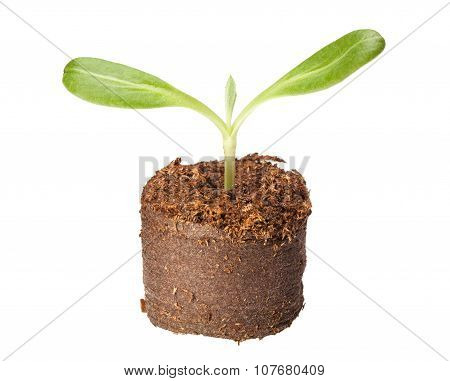Sprout With Big Leaves Ready For Plant