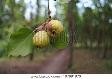 Pear in the forest