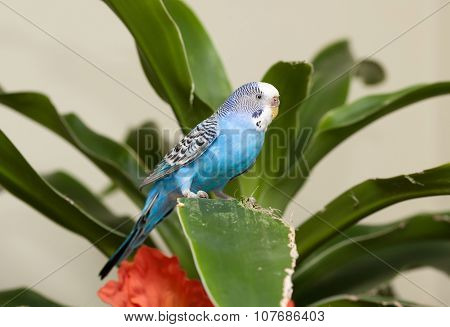 Blue Budgie On Leaf