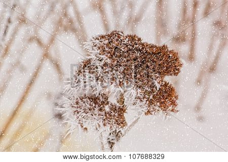 Dry Flower Of Stonecrop With White Hoarfrost, Macro