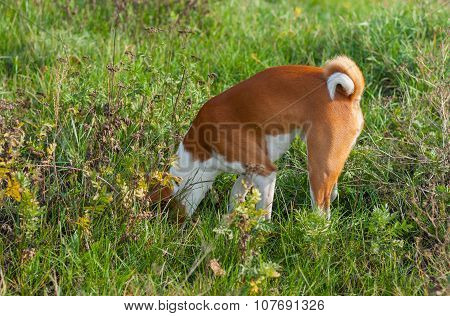 Basenji dog hunting for rodent in burrow