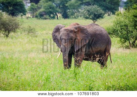 Lonely Young Elephant In Tarangire Park, Tanzania