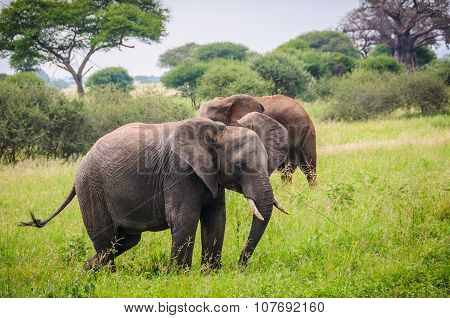 Elephants Walking In Tarangire Park, Tanzania