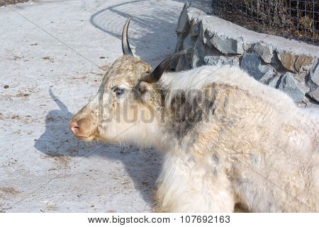 Portrait Of A Yak