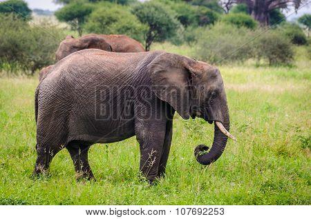 Sad Elephant In Tarangire Park, Tanzania