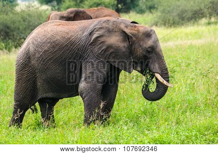 Eating Elephant In Tarangire Park, Tanzania