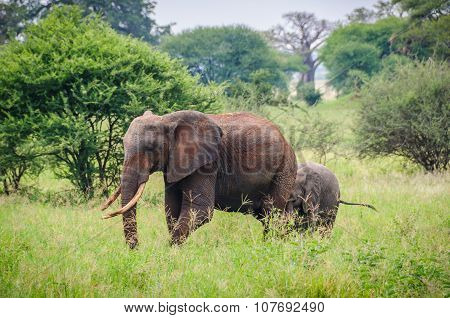 Elephant Mother And Calf In Tarangire Park, Tanzania