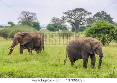 Couple Of Elephants In Tarangire Park, Tanzania