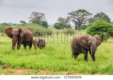 Elephant Parents With Calf In Tarangire Park, Tanzania