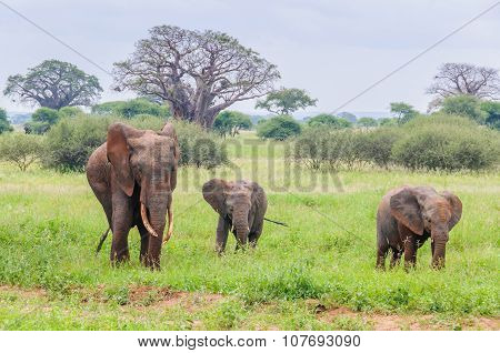 Mother And Two Elephant Calves In Tarangire Park, Tanzania