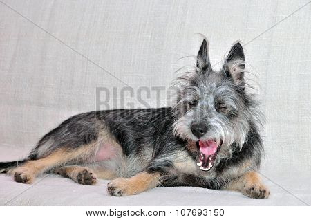 The dog yawns. Mongrel dog, mongrel dog similar to the breed Cairn Terrier or a Australian terrier.