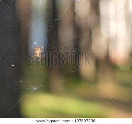 Spider on blurred background of forest and spider webs