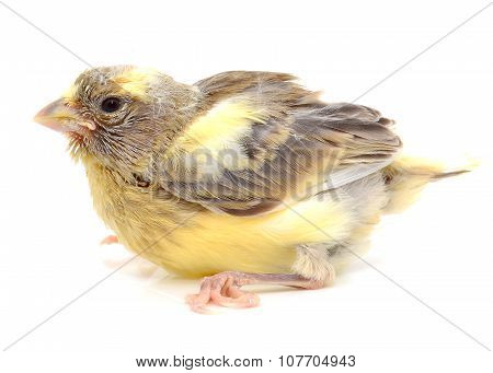 Yellow and green canary