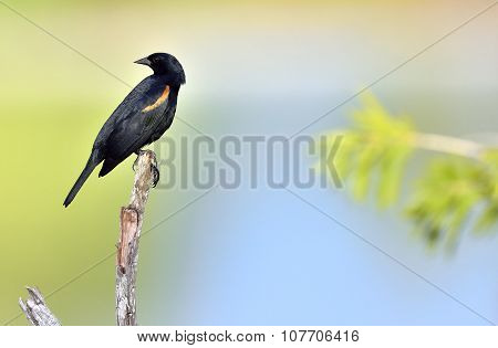 Red-shouldered Blackbird (agelaius Assimilis)
