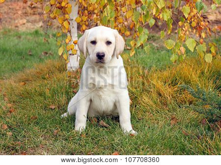 The Nice Yellow Labrador Puppy In Autumn