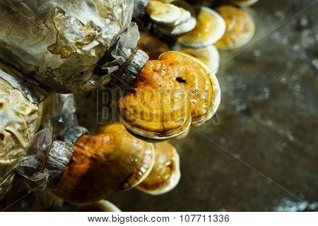 Lingzhi Mushrooms Growth Up