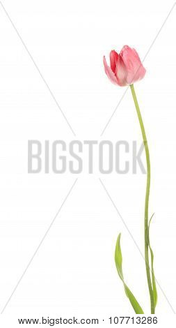 Delicate Tulip On A White Background