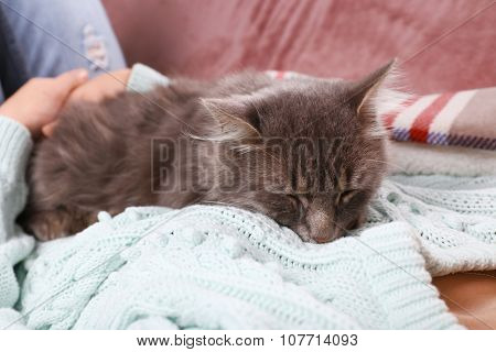 Woman takes in hands beautiful grey cat on sofa in the room