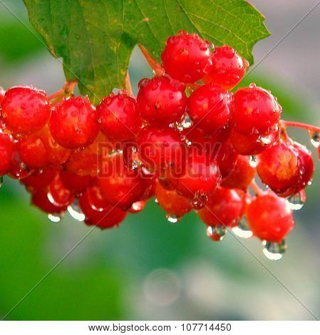 Berries red Viburnum With Leaves