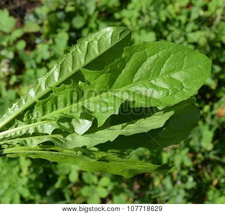 Bouquet Of Leaves From Dandelions