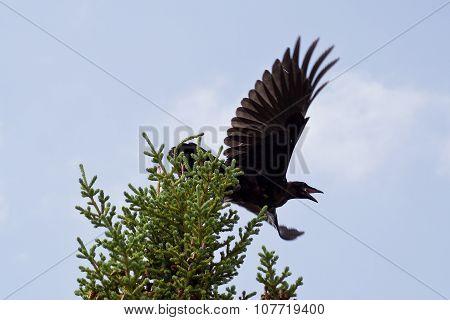 Raven taking off