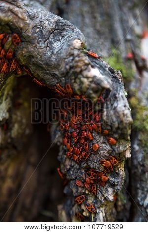 Family Red Bugs On The Bark Of A Tree