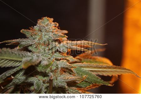 Medical Marijuana Deadhead OG Bud Shot