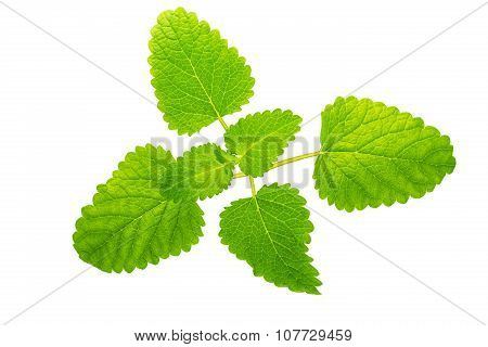 Mentha Or Mint Leaves Isolated On White