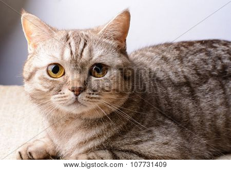 Cat Of The British Breed