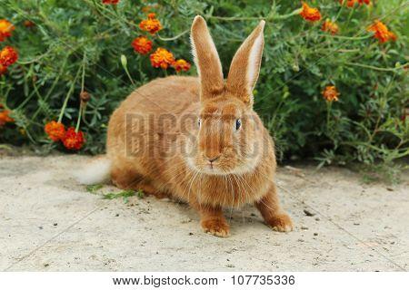 Beautiful Red Rabbit, Close Up