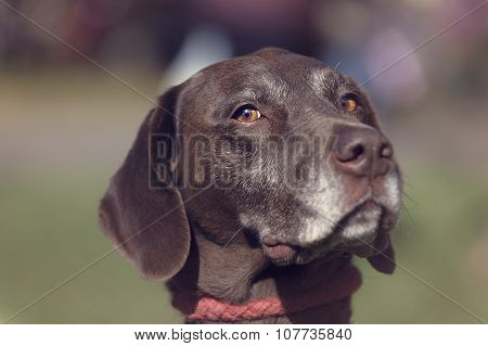 Portrait of a looking German Shorthaired Pointer