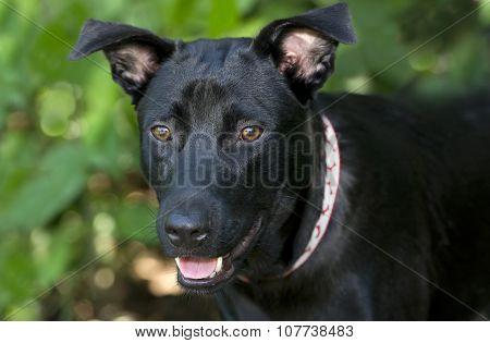 Black Dog Closeup