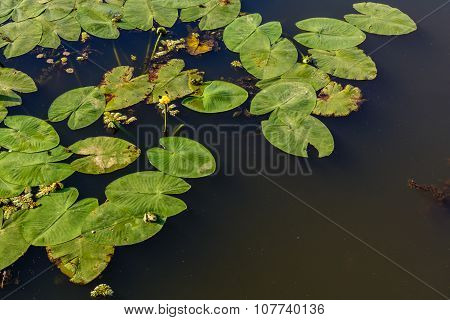 Water Lilies On The Water. Bright Background Of Waterlillies On Calm Water Surface..