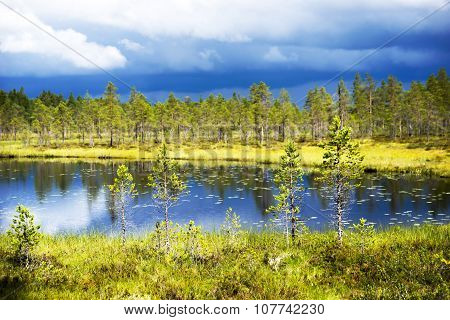 Conifer Trees By Lake
