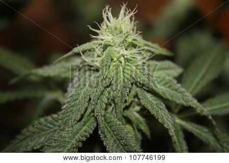 Medical Marijuana Flower