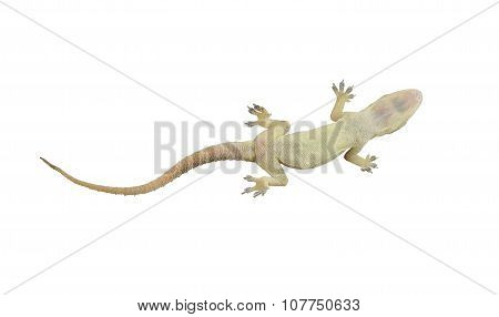 Dead Lizard Of Reptile On White Background With Clipping Paths.