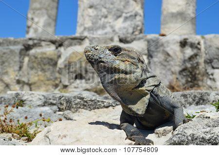 Alpha Iguana