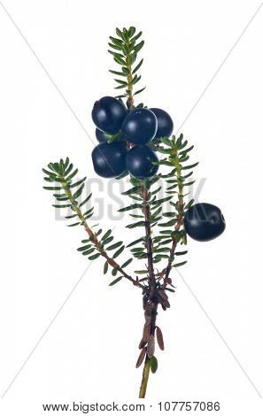 juniper branch with berries isolated on white background
