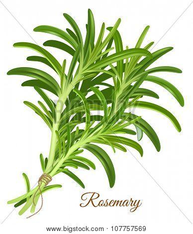 Rosemary. Vector illustration.