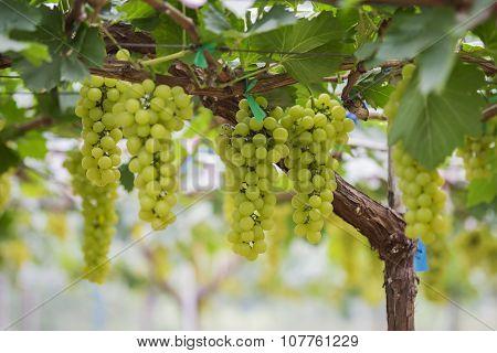 Fresh green grapes on vineyards Tak ,Thailand.