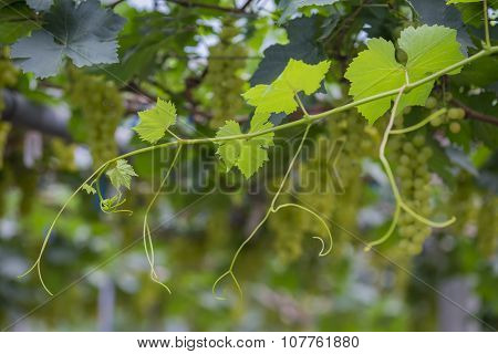 Young grapes leaves on vineyard and green grapes background Tak ,Thailand.