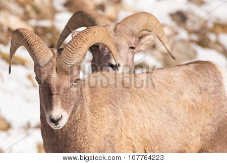 Two Bighorn Sheep - Back To Back.