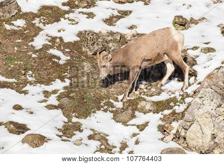 Baby Bighorn Sheep - Trying To Navigate Down.