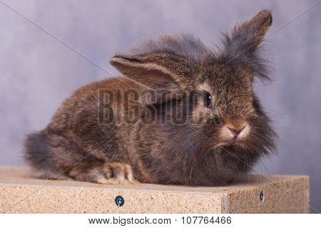 Adorable furry lion head rabbit bunny lying on a wood box while looking at the camera.