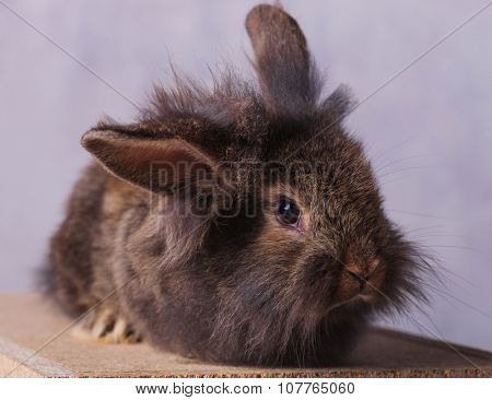 Portrait of a furry lion head rabbit bunny looking at the camera while lying on a wood box.